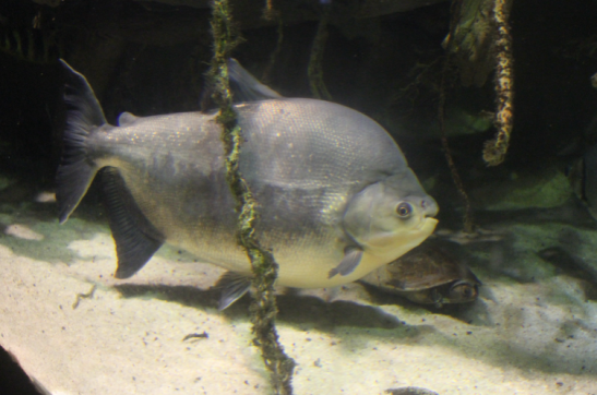 Pacu, fish, aquarium, baltimore, rainforest, river